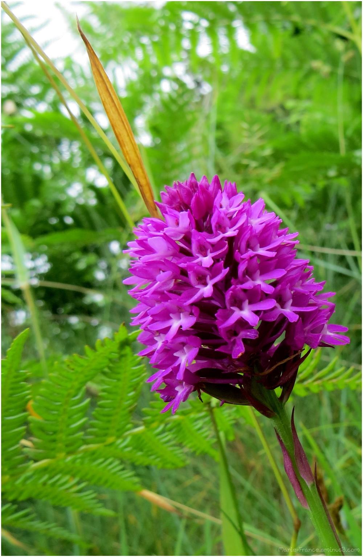 orchidée sauvage en Bretagne