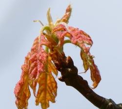 Pousse de printemps...