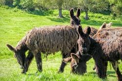 Les ânes (2)