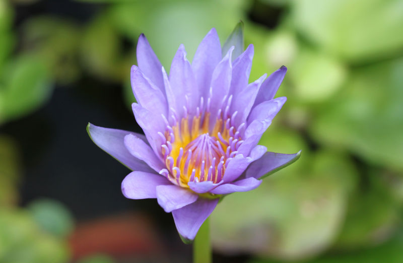 Lovely Blue Water Lily