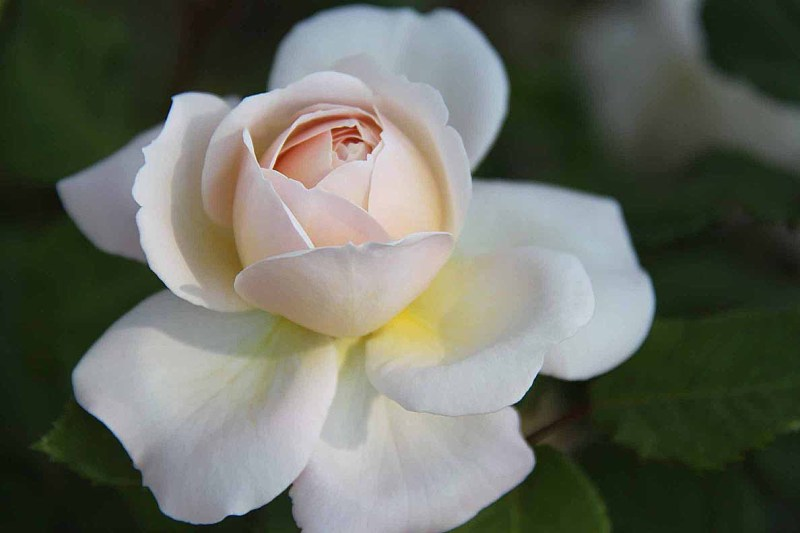 Enchanting rose bud