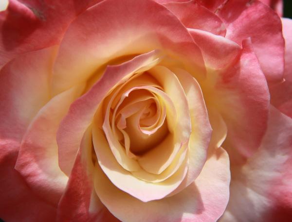 Stunning rose