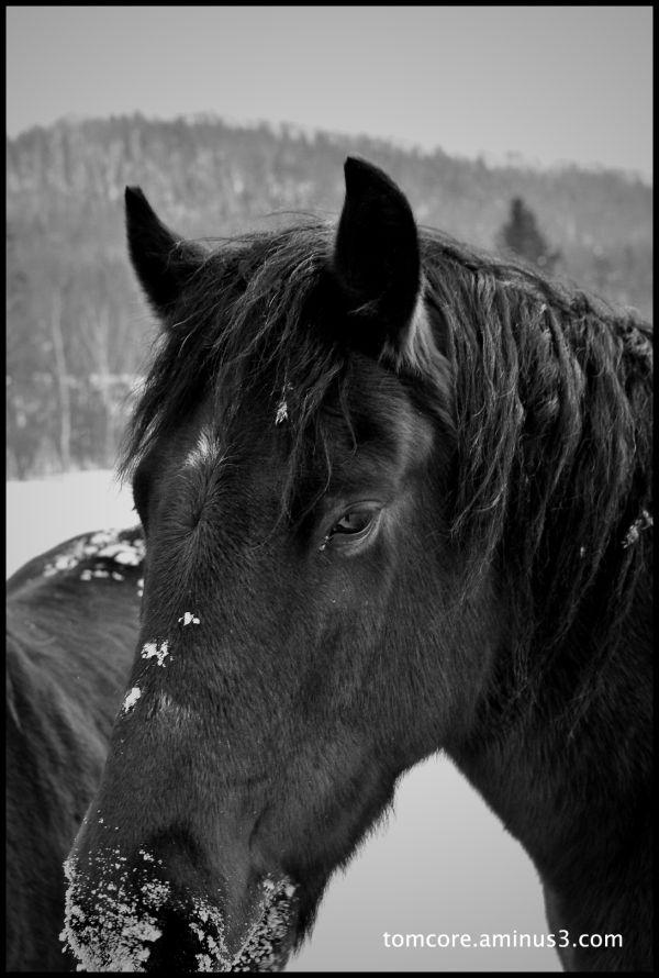 mountain horse snow winter
