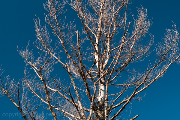 dead tree brances against blue sky