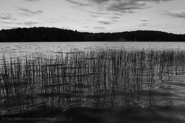 weeds on centre lake ontario black and white