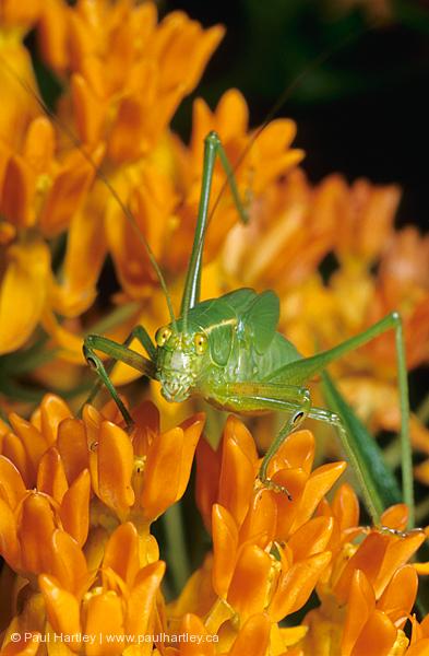 katydid looking at camera on orange glory flower