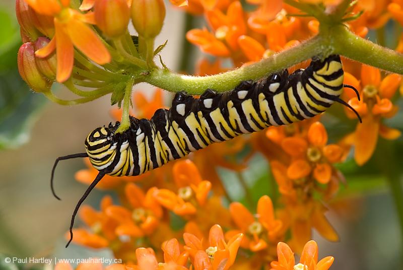 monarch caterpillar on orange glory flower