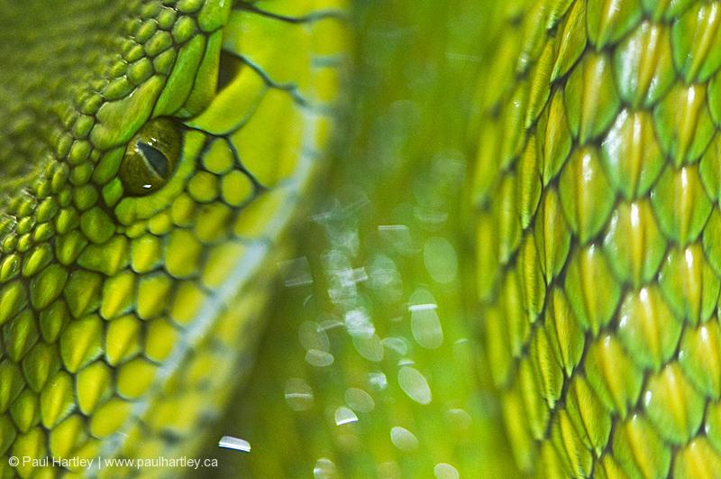 close up of green snake eye