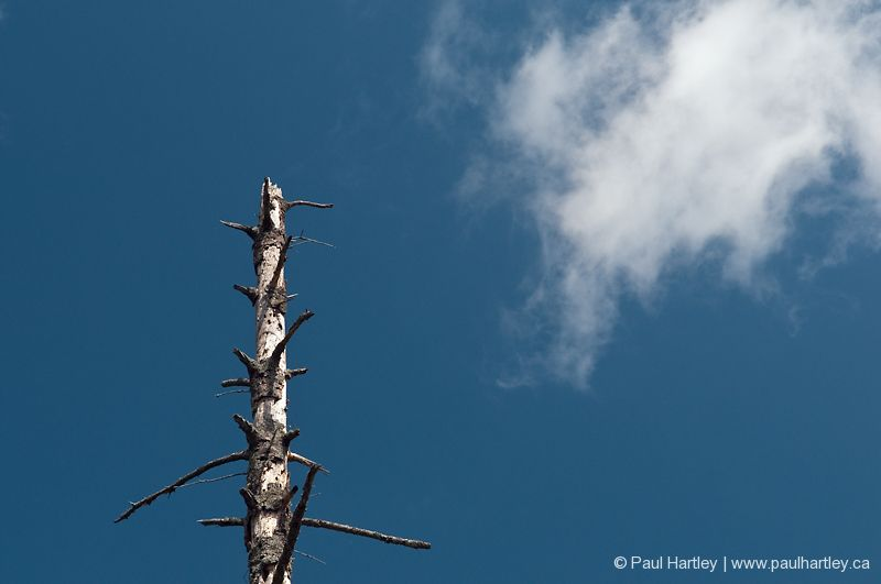 dead tree with short branches with cloud in sky