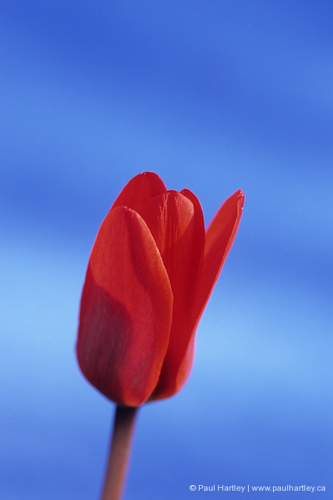 miniature red tulip sky blue coloured background