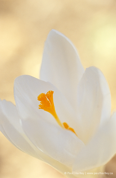 close up of white crocus