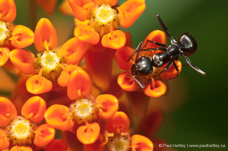 close up of butterfly weed and black ant
