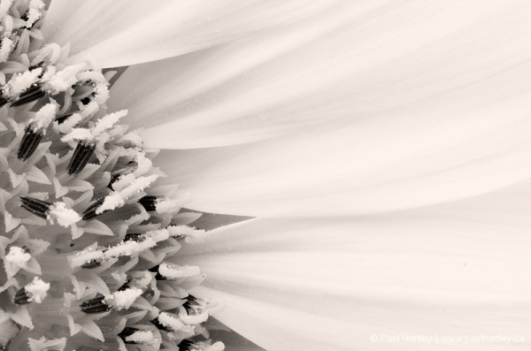 close up of sunflower petals and centre b & w