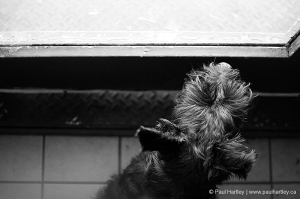 scottish terrier from above looking out window