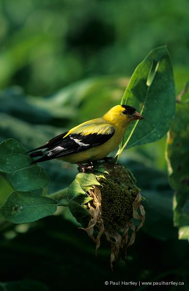 goldfinch on sunflower head