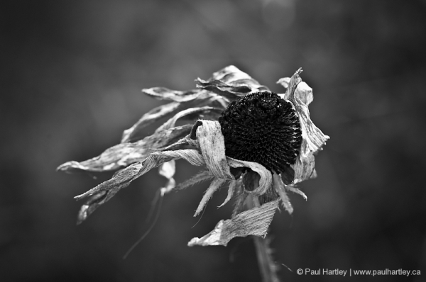 black and white dead black eyed susan flower