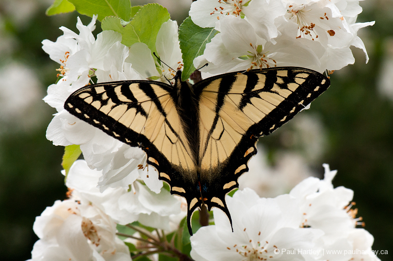yellow swallowtail butterfly crabapple blossoms
