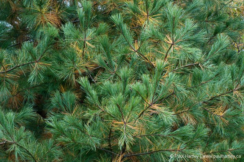 detail of green and orange yellow pine needles