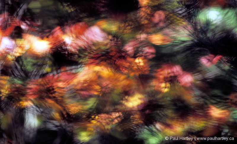 fall colour abstract with pine needles and maple
