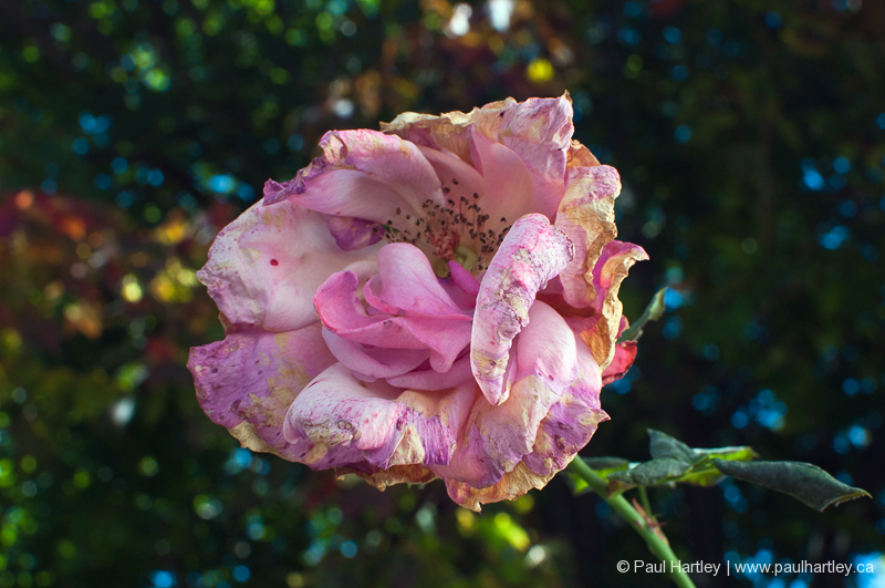 dying pink rose