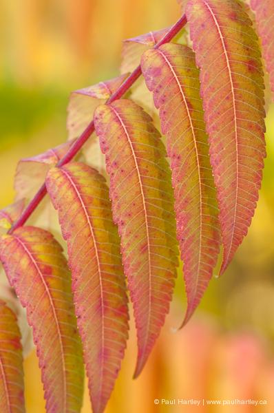 colourful sumac leaves in fall