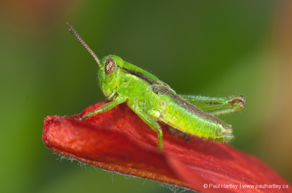 close up of green grasshopper on lily petal