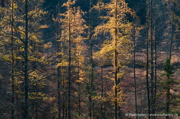 tamarac trees in autumn