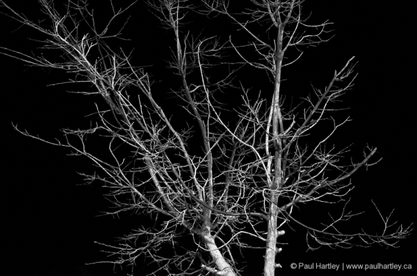 black and white of dormant tree at night
