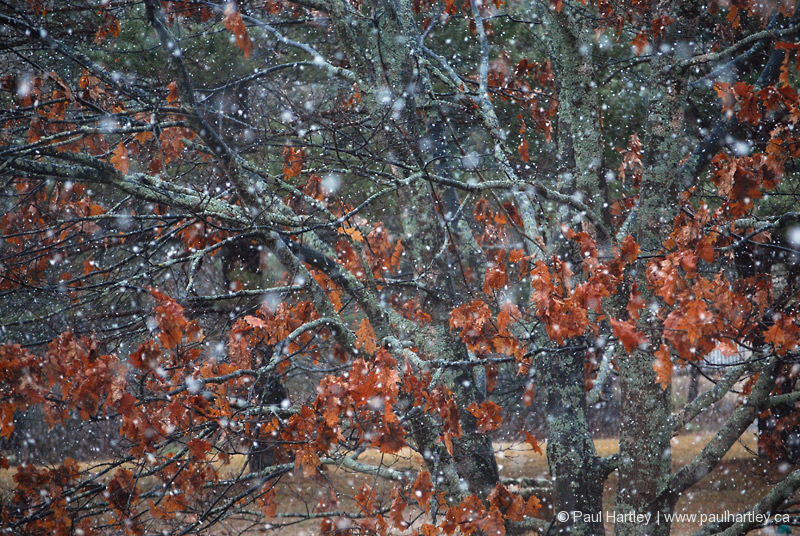 snow flakes with oak tree and leaves