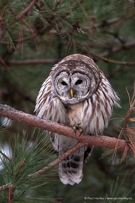 barred owl ruffled in pine tree