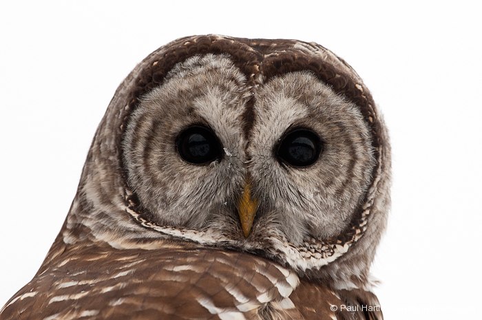 portrait of barred owl
