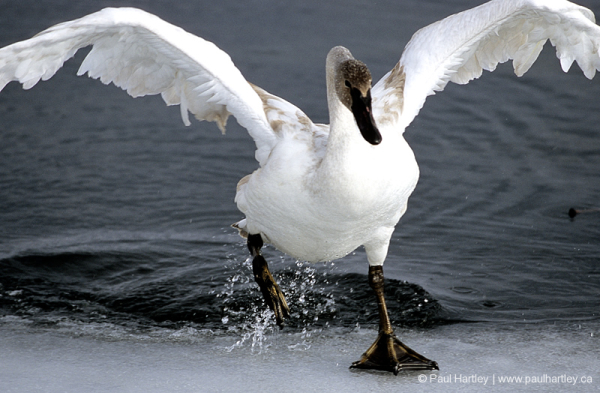 tundra swan on ice of a lake