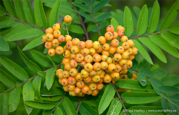 orange berries on mountain ash tree