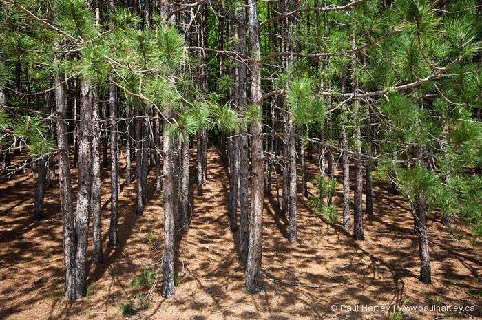 rows of planted forest