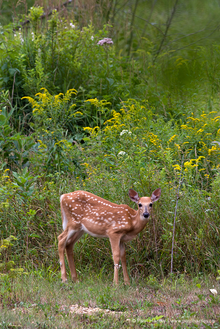 fawn with spots grazing