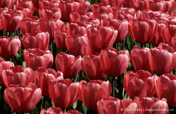 profusion of red tulips in spring in toronto