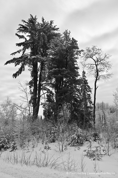 group of large trees in winter black and white