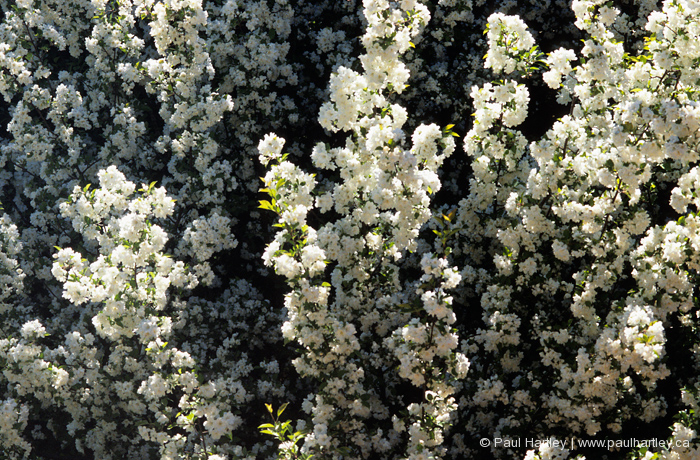 soft image of white crabapple blossoms spring