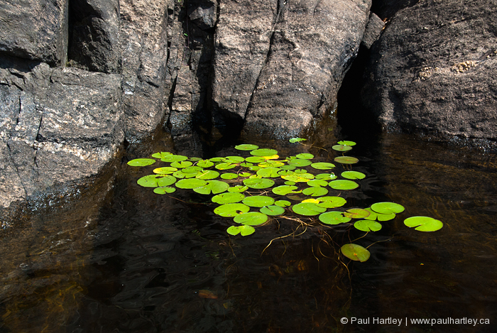 lily pads surrounded by rock