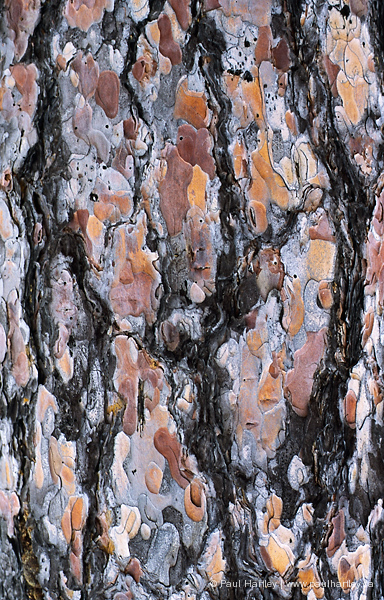red pine bark detail