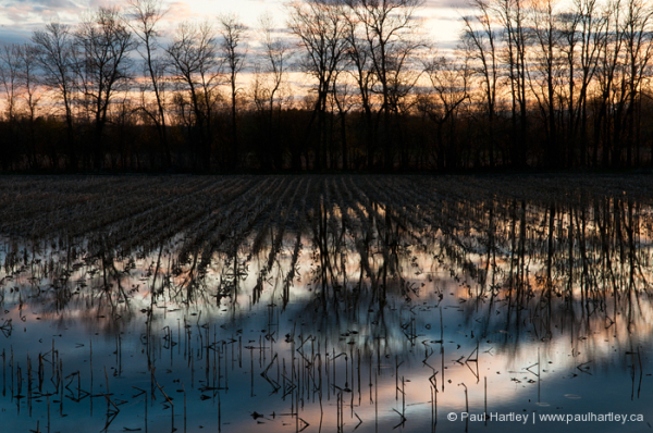 sunset on flooded corn field in spring