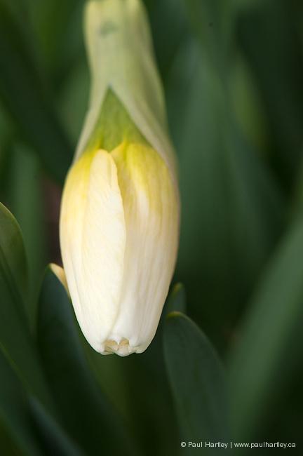 daffodil flower bud