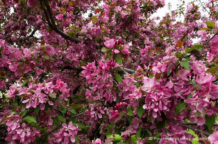 crababble tree blossoms