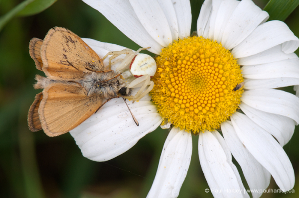 goldenrod spider with moth