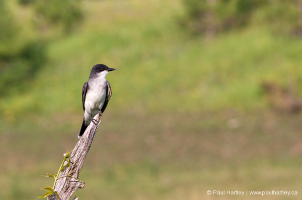 swallow on fence post