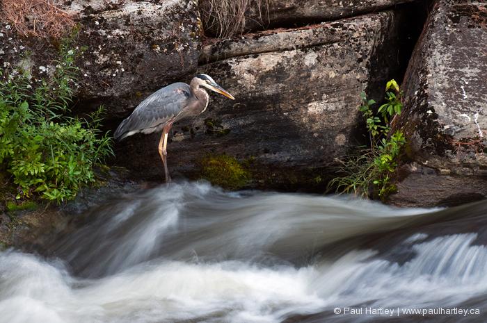 heron by waterfalls