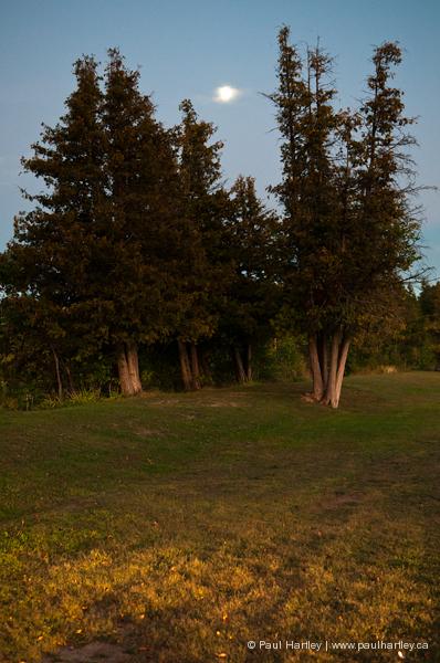 cedar trees and moon