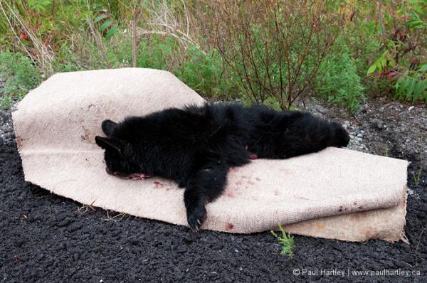 dead bear cub on carpet