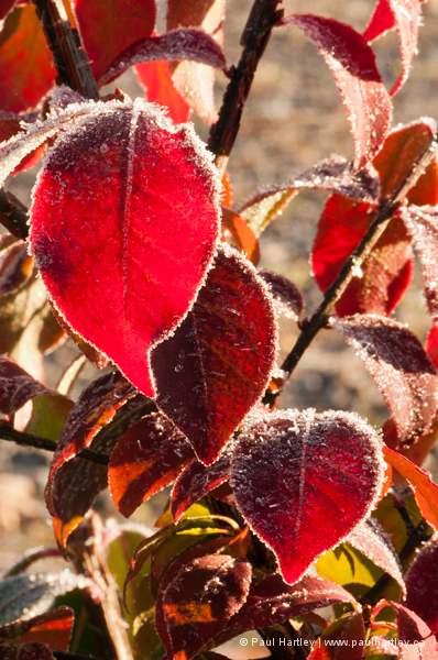 frosty red leaves of burning bush