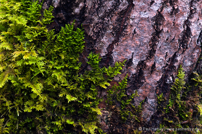 close up of fern moss on spruce tree trunk